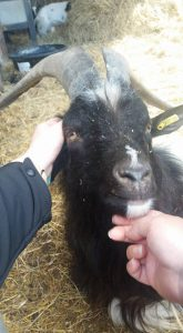A goat having an ear and chin sctatch at Lotherton Hall